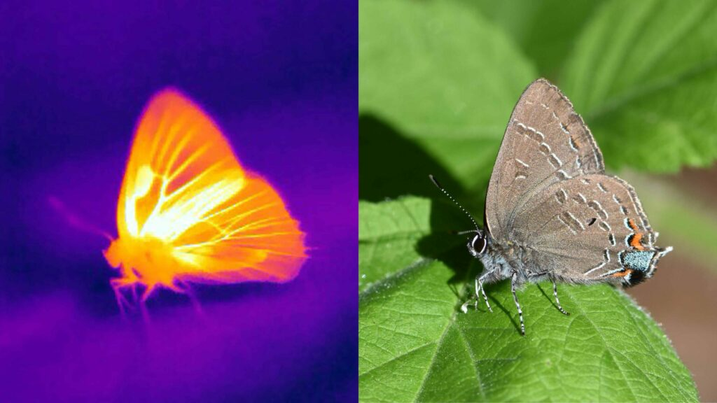 an infrared and visual light photograph of a butterfly