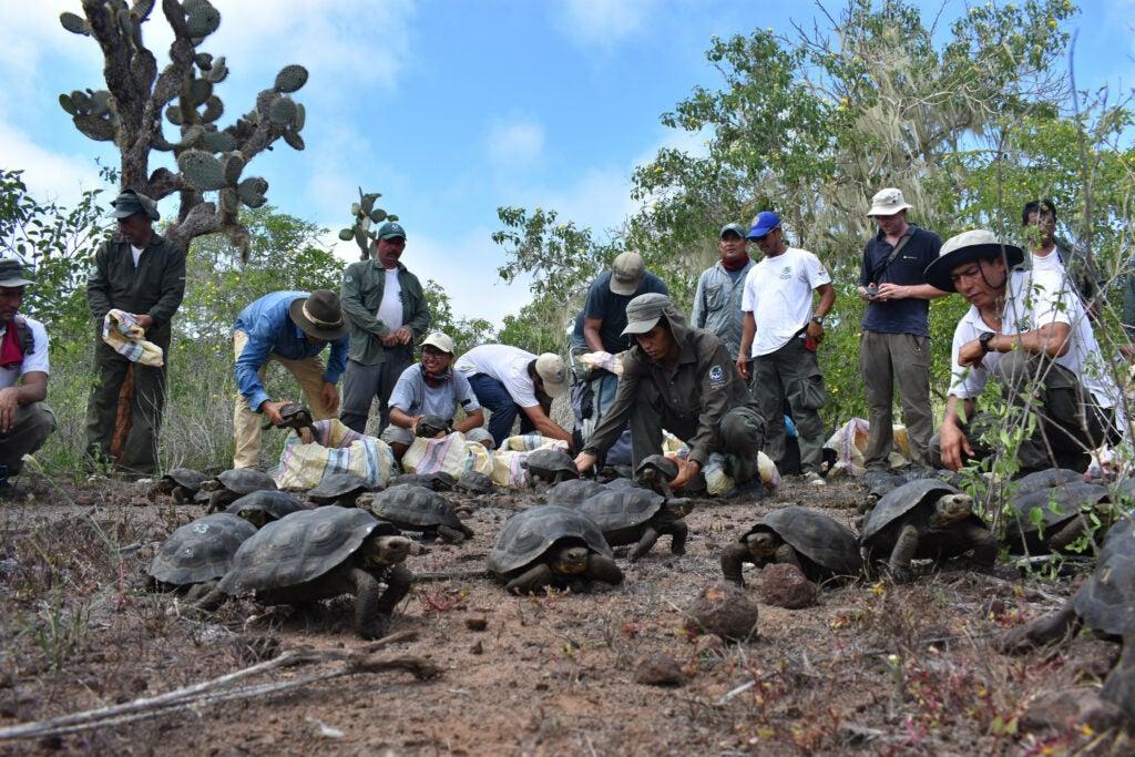 Scientists wrangle critically endangered Española tortoises for captive breeding.