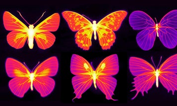 These infrared images show just how alive butterflies' wings are