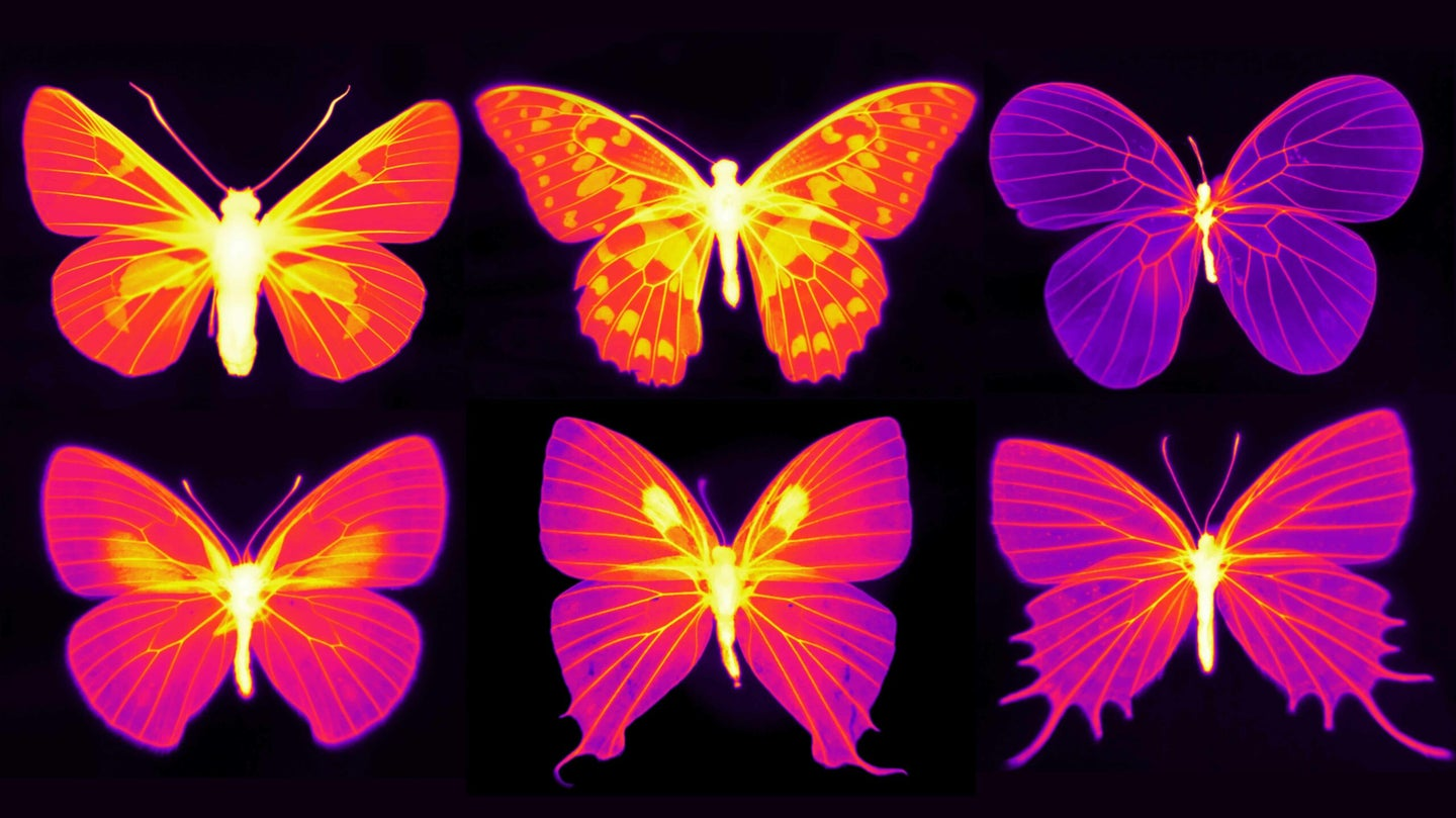 an infrared heat map of butterfly wings