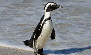 Jackass penguins talk like people