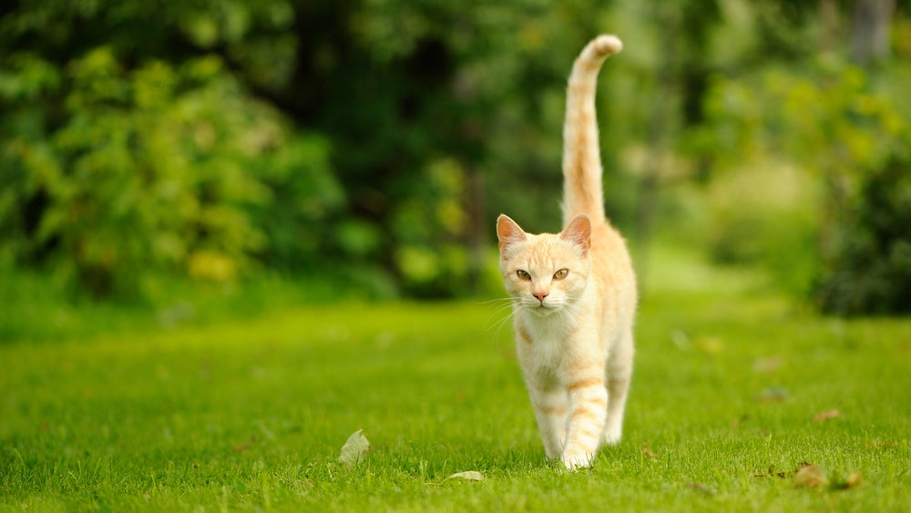 A graceful orange cat with a long tail walking on green grass