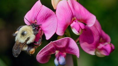 Humans need bumble bees—and they are disappearing faster than we thought
