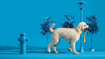 White dog on blue background