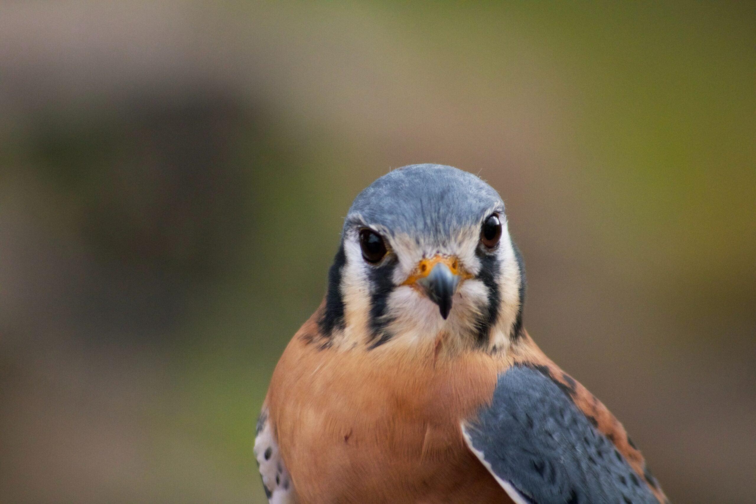 peregrine falcon staring into camera