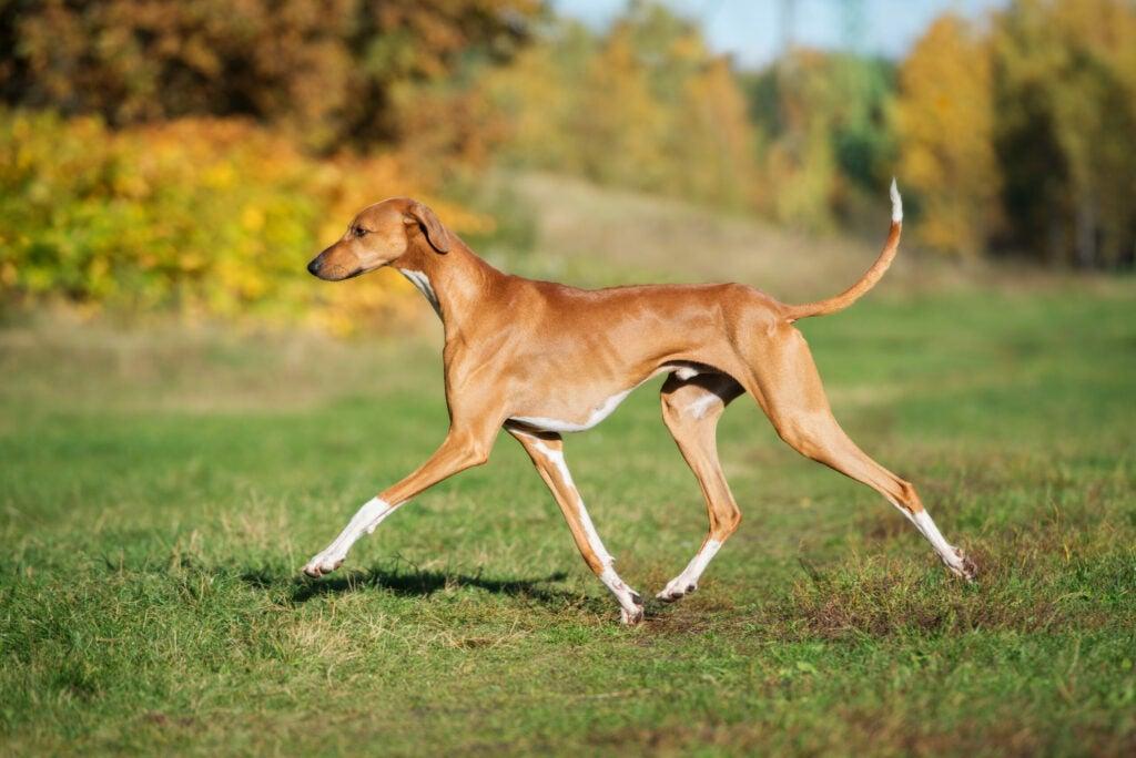 Azawakh dog running.