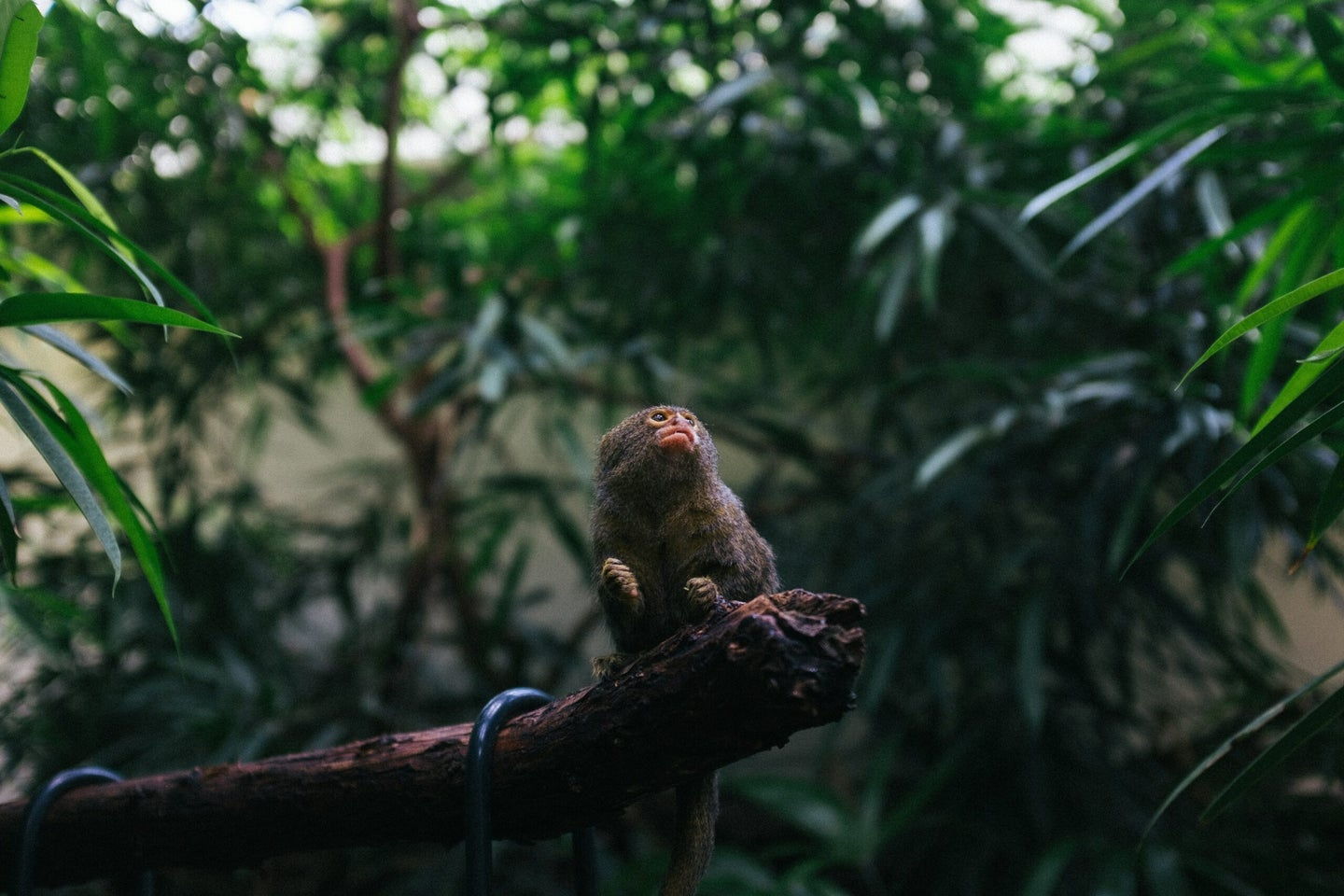small monkey sitting on a branch looking up and to the right
