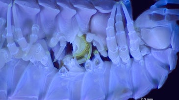 glowing millipedes having sex