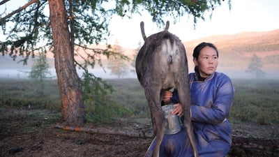 The answer to lactose intolerance might be in Mongolia
