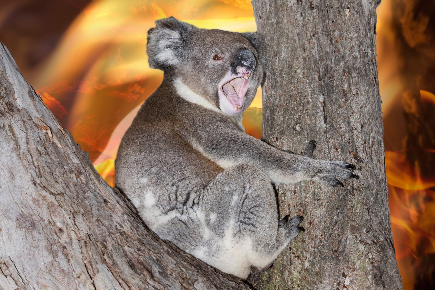 A koala yells out during last month's bushfires in southeastern Australia.
