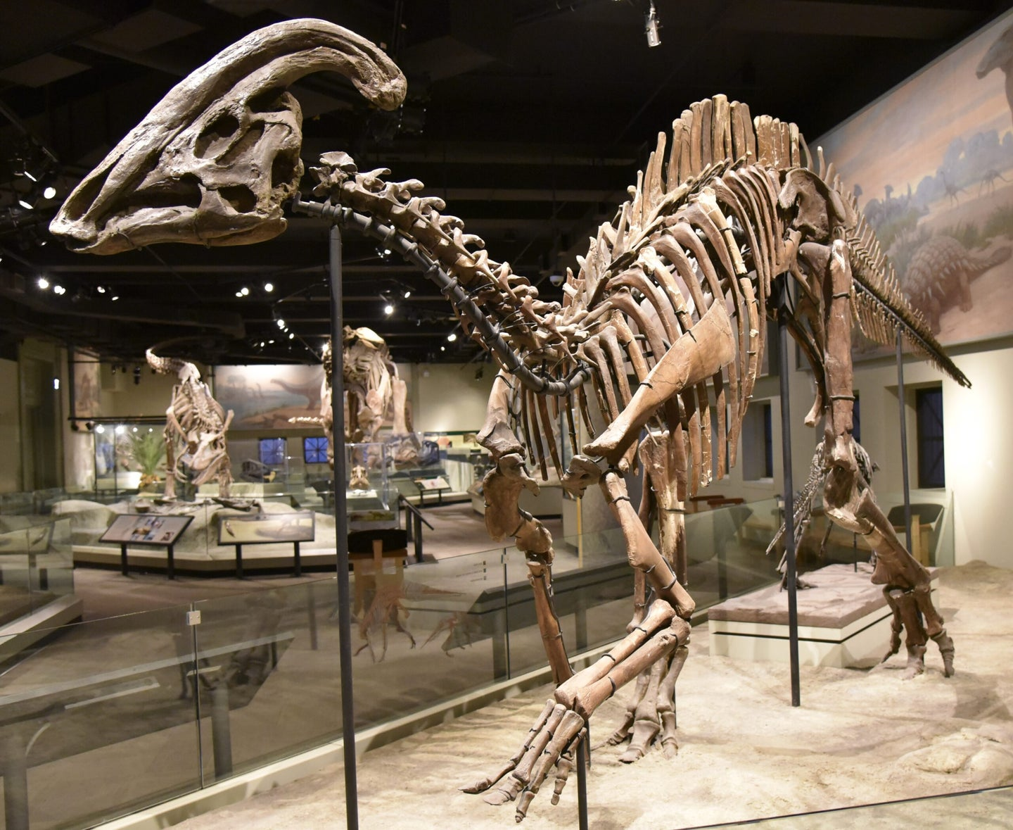 Photograph of Parasaurolophus fossil mount at the Field Museum of Natural History, Chicago, Illinois, 2017
