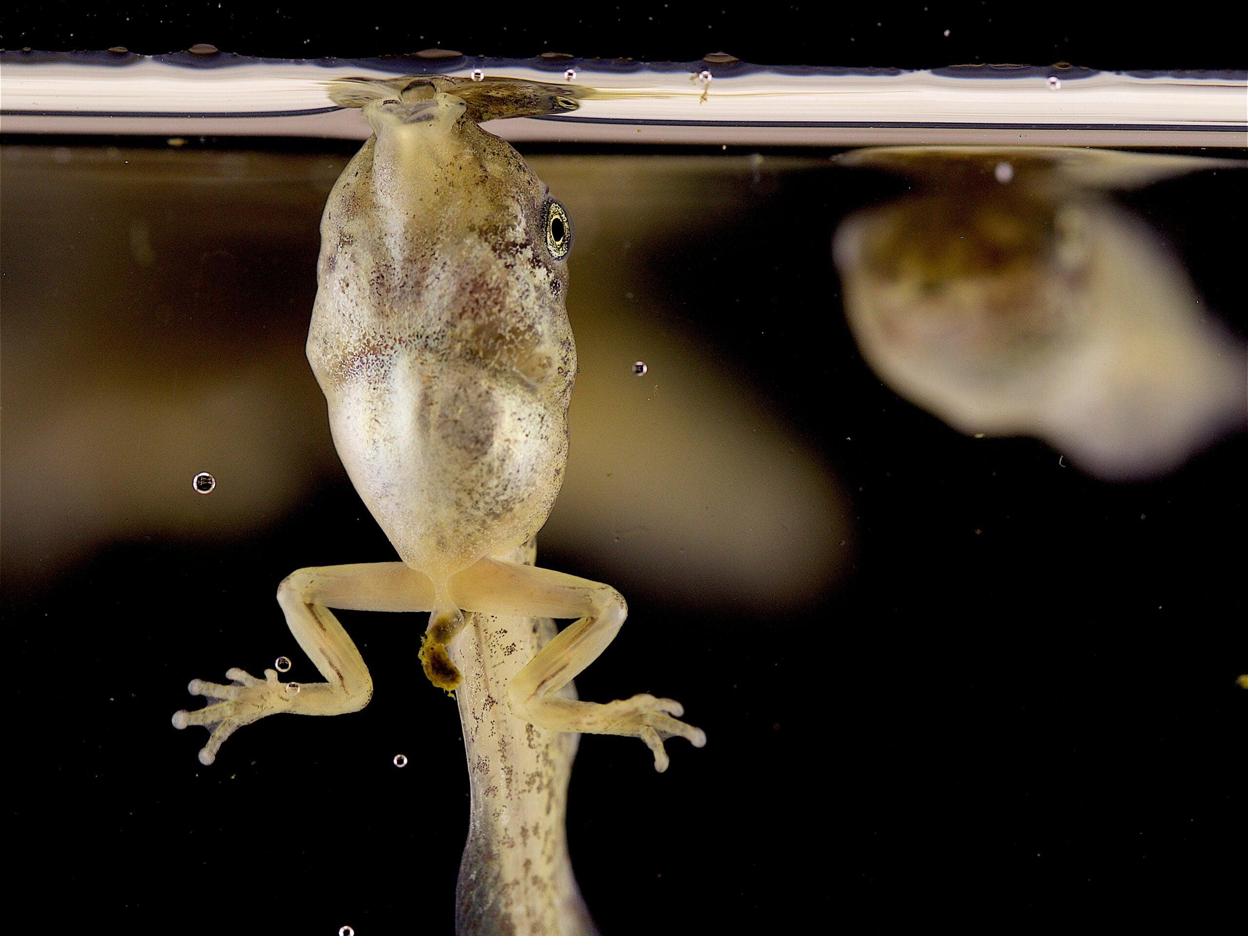 A tadpole of a gray tree frog sucks in a bubble full of oxygen.