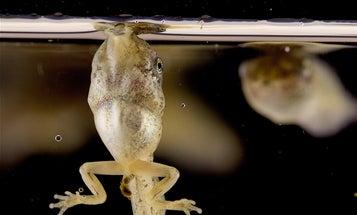 Watch tiny tadpoles breathe by 'bubble sucking'