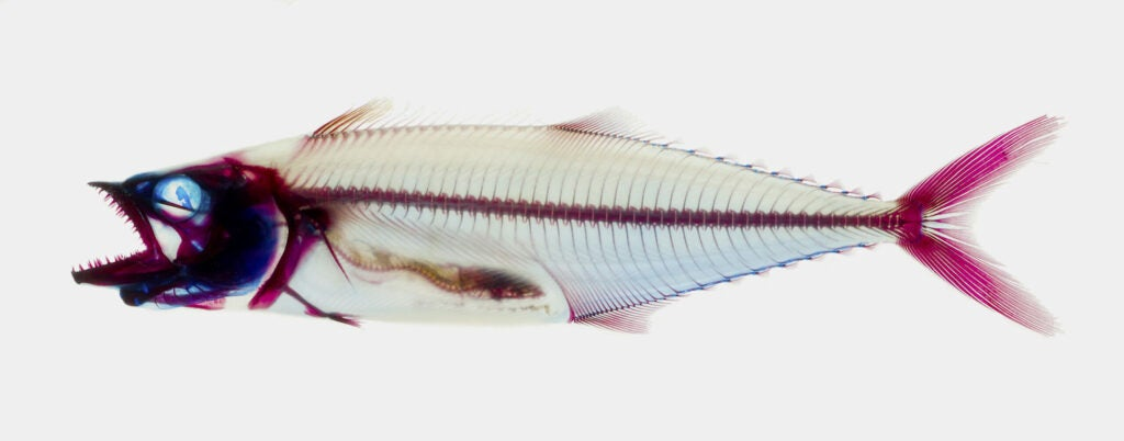 An Atlantic spotted mackerel with its skeleton stained for analysis at the American Museum of Natural History.