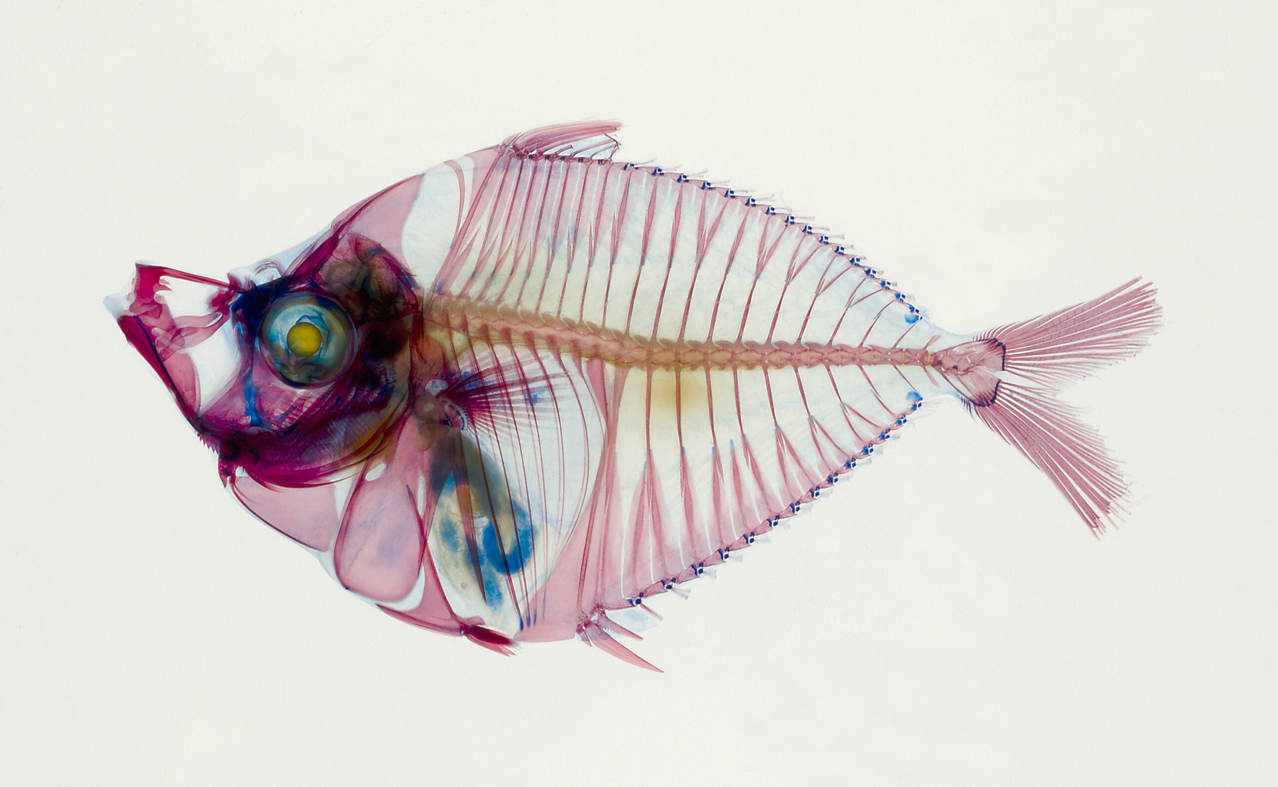 A bioluminescent ponyfish with a light-generating organ in its esophagus.