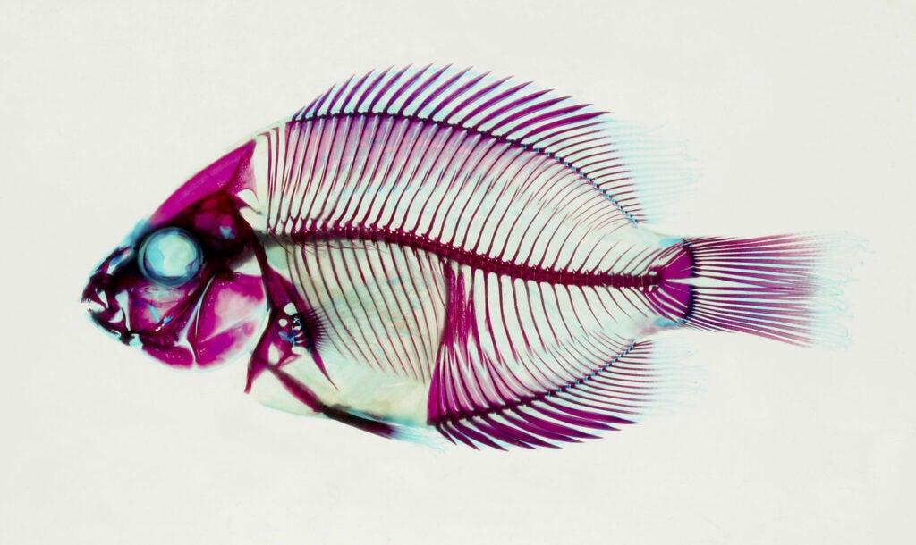A Madagascar cichlid, usually found in freshwater.