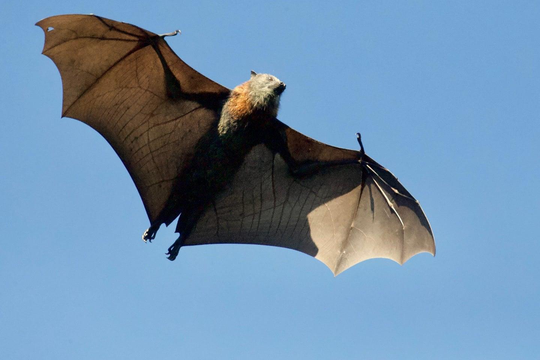 Brown bat in flight.