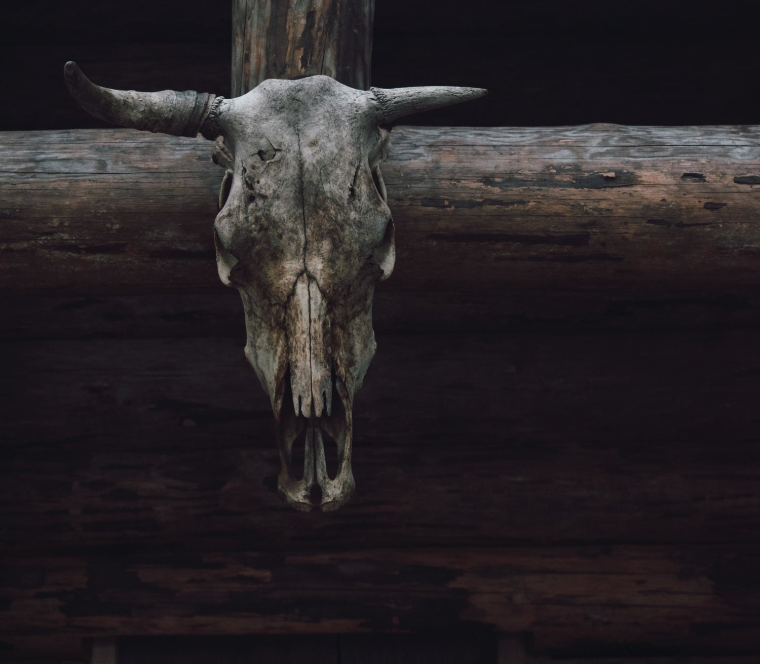 a cattle skull mounted on wood