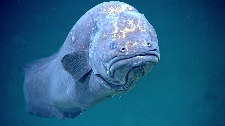 cuskeel fish