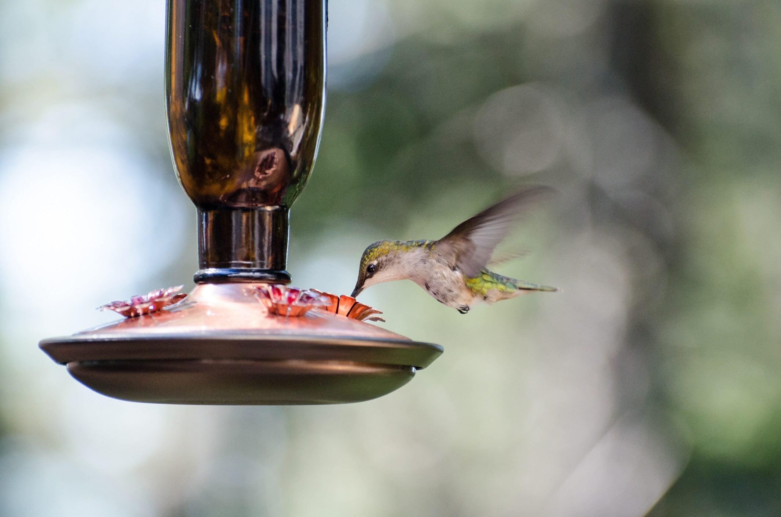 A ruby-throated hummingbird dips into a nectar feeder.