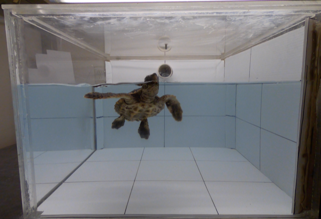 sea turtle in tank
