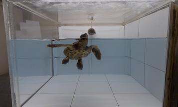 Sea turtles think old ocean plastic smells delicious