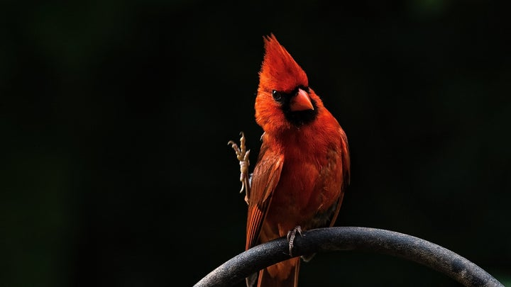a Northern cardinal on a metal bar outside