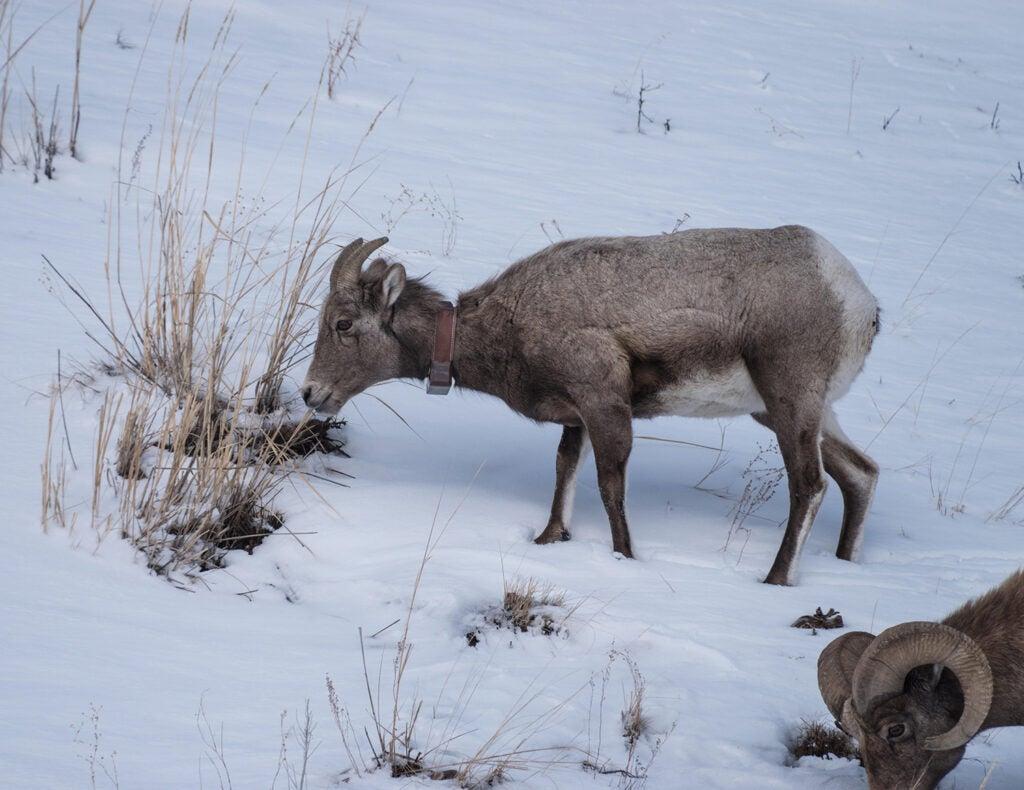 A bighorn ram in the snow.