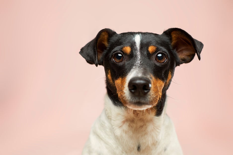 dog in front of a pink wall