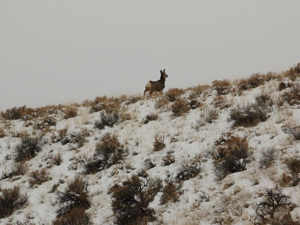 A mule deer doe running away after recieving a GPS collar.