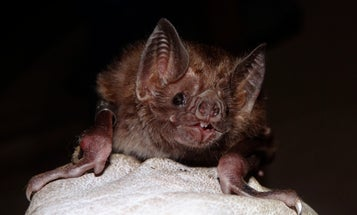 Vampire bats know the true meaning of friendship—sharing slurps of blood