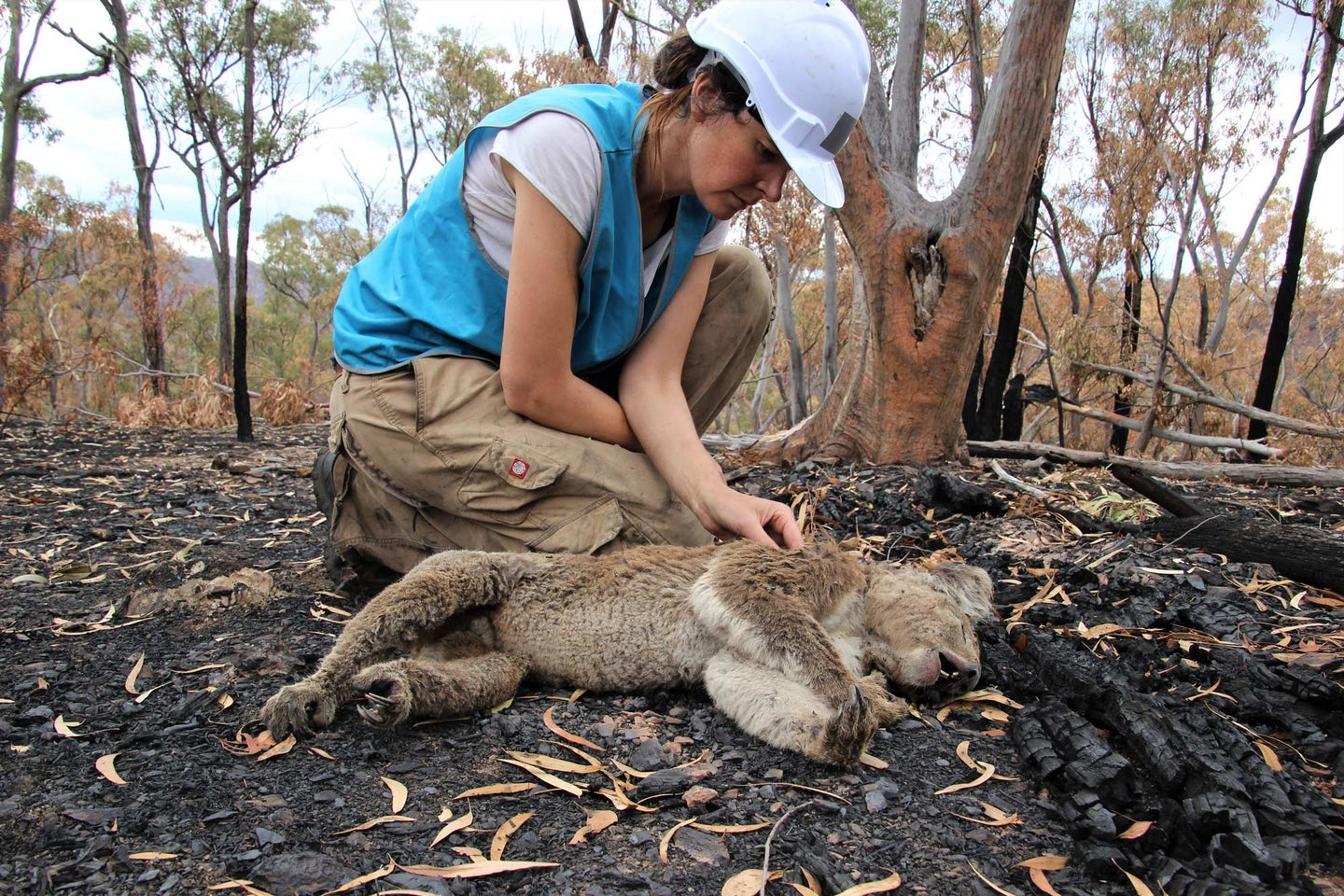 Romane Cristescu with a koala that survived the bushfires, but died afterwards.