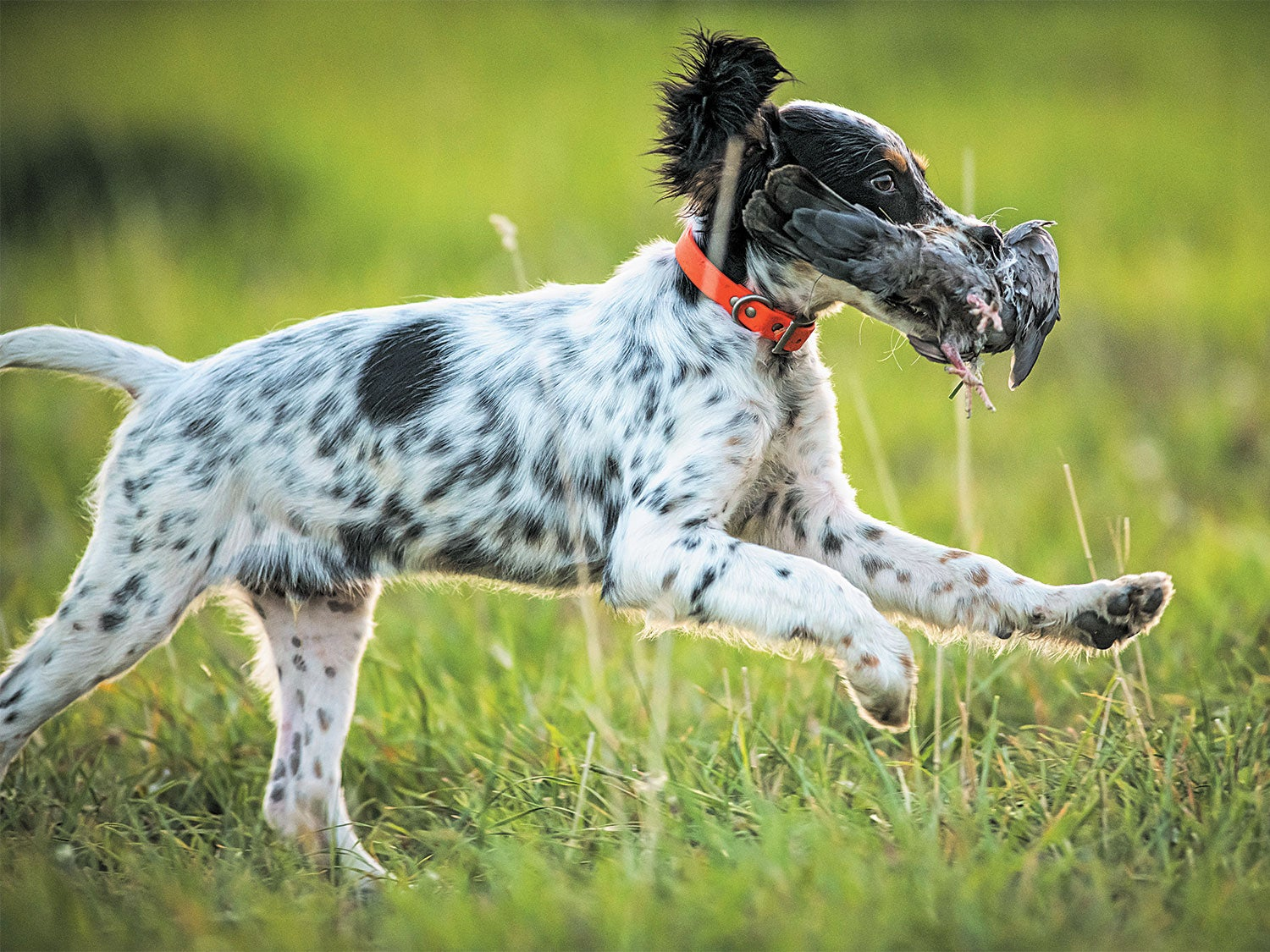 English setter puppy works on basic retrieving with a pigeon.