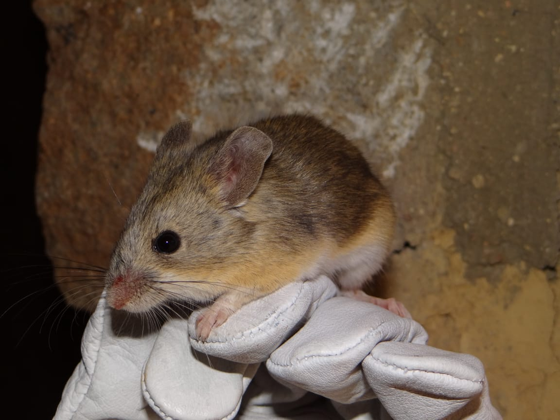 Yellow-rumped leaf-eared mouse.