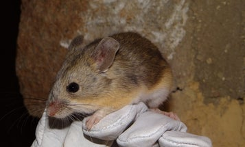 Meet the highest mouse on Earth