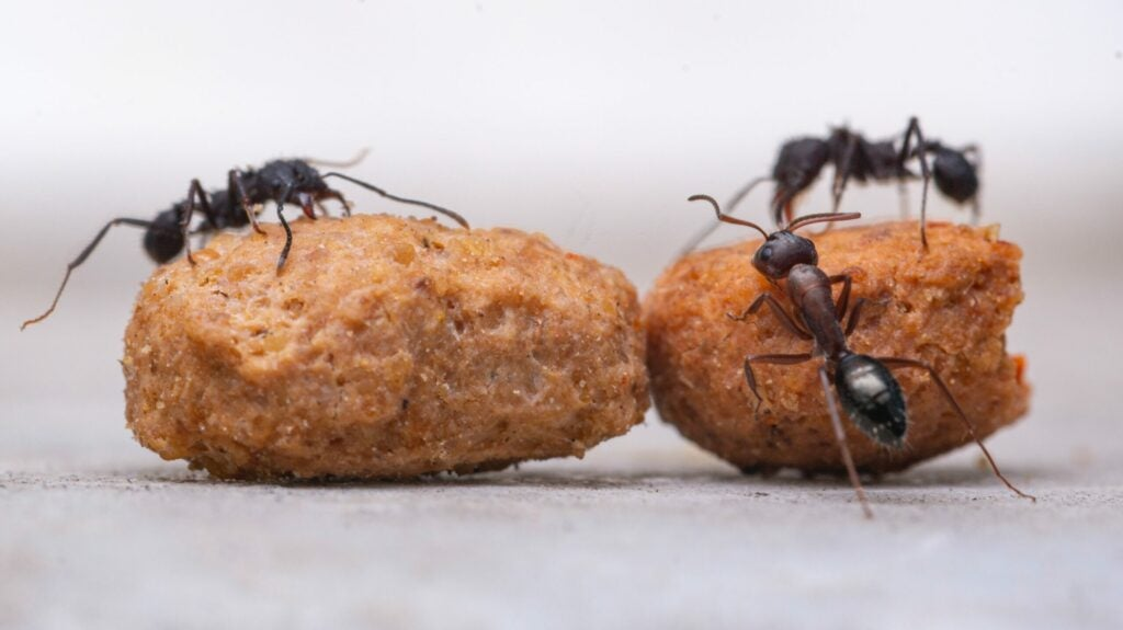 A type of black ant swarming over food crumbs