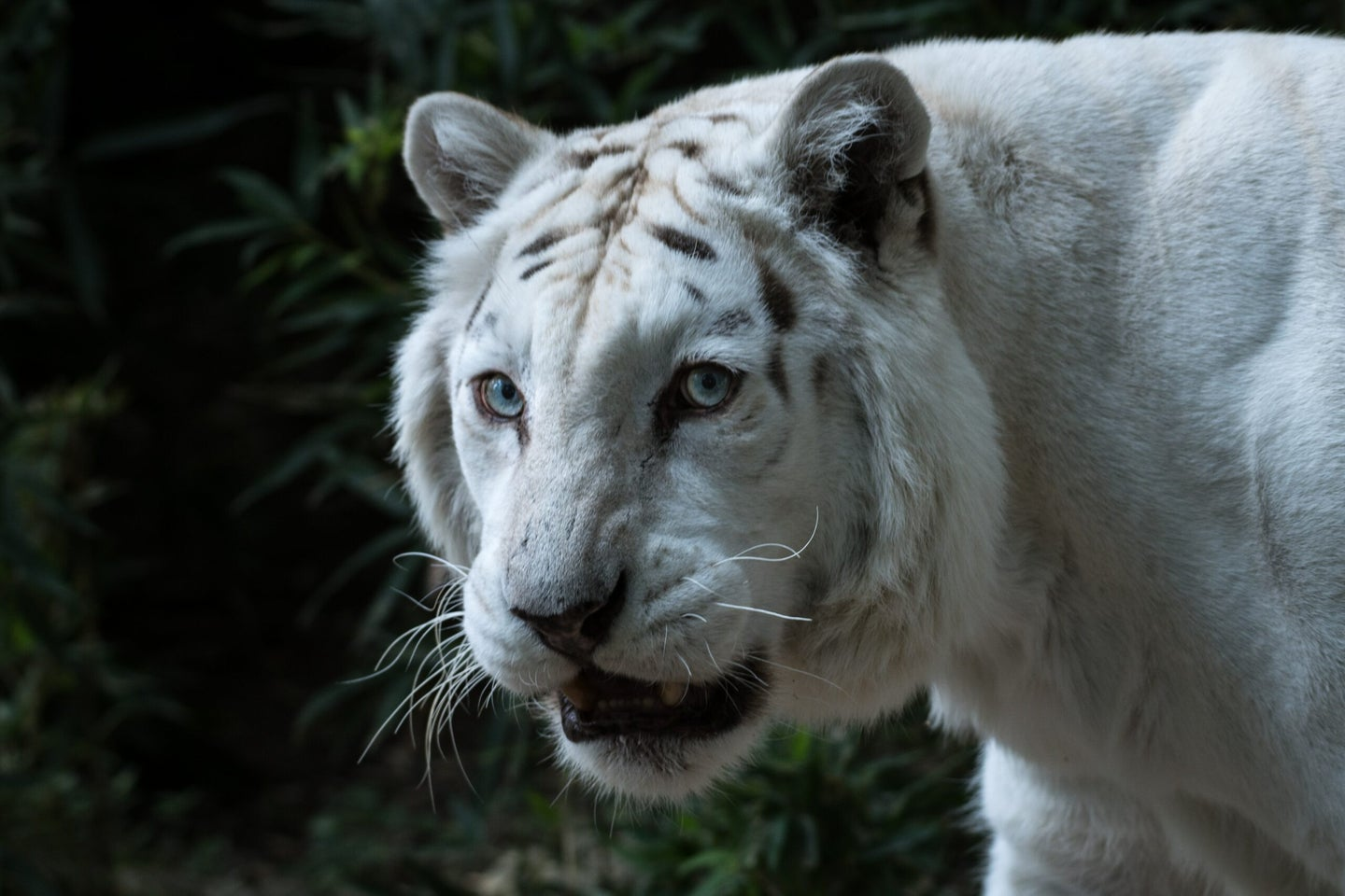 """""""Albino"""" tigers are often just captive individuals bred for specific, atypical features."""