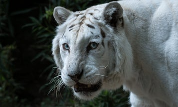 'Tiger King' would have been more disturbing if it had focused on the big cat trade