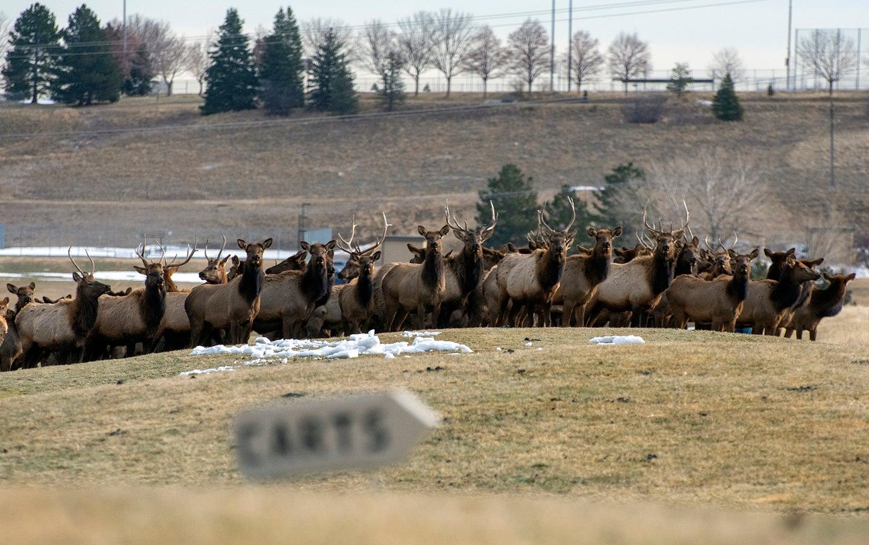 elk on golf course