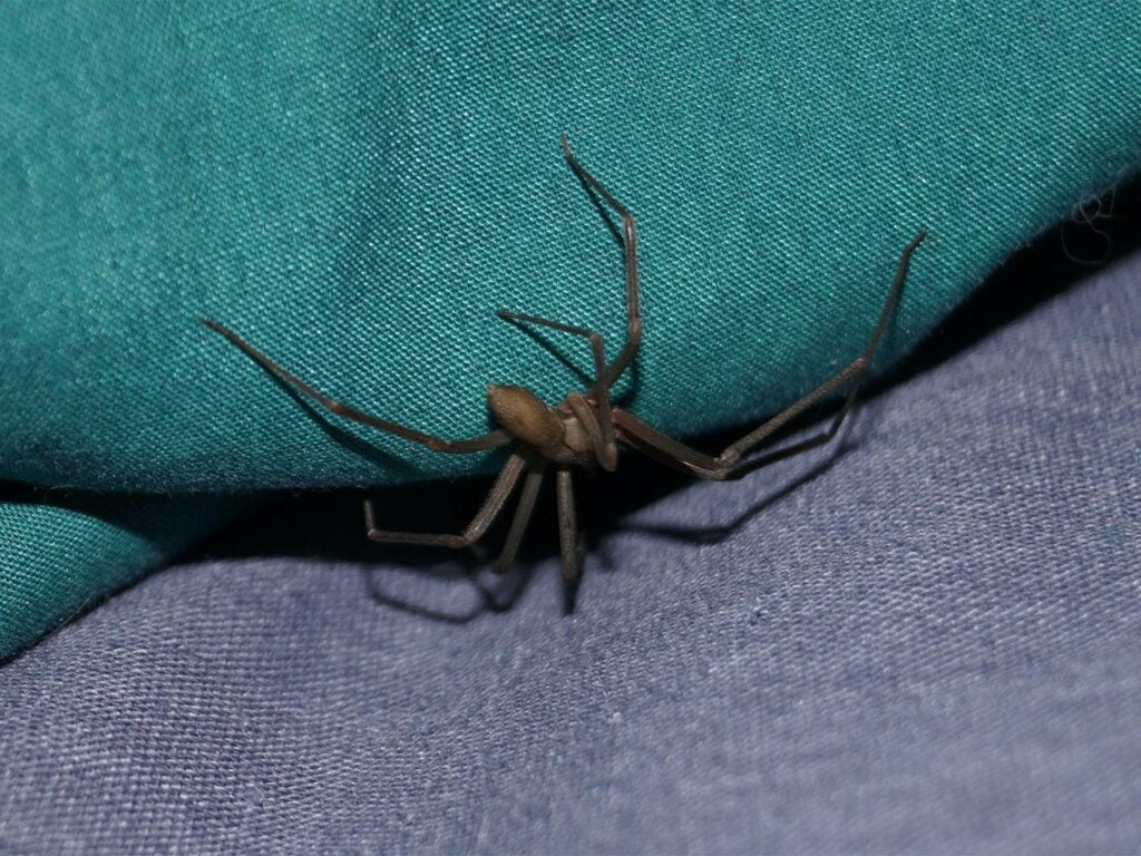 The brown recluse often dens in clothing and footwear.
