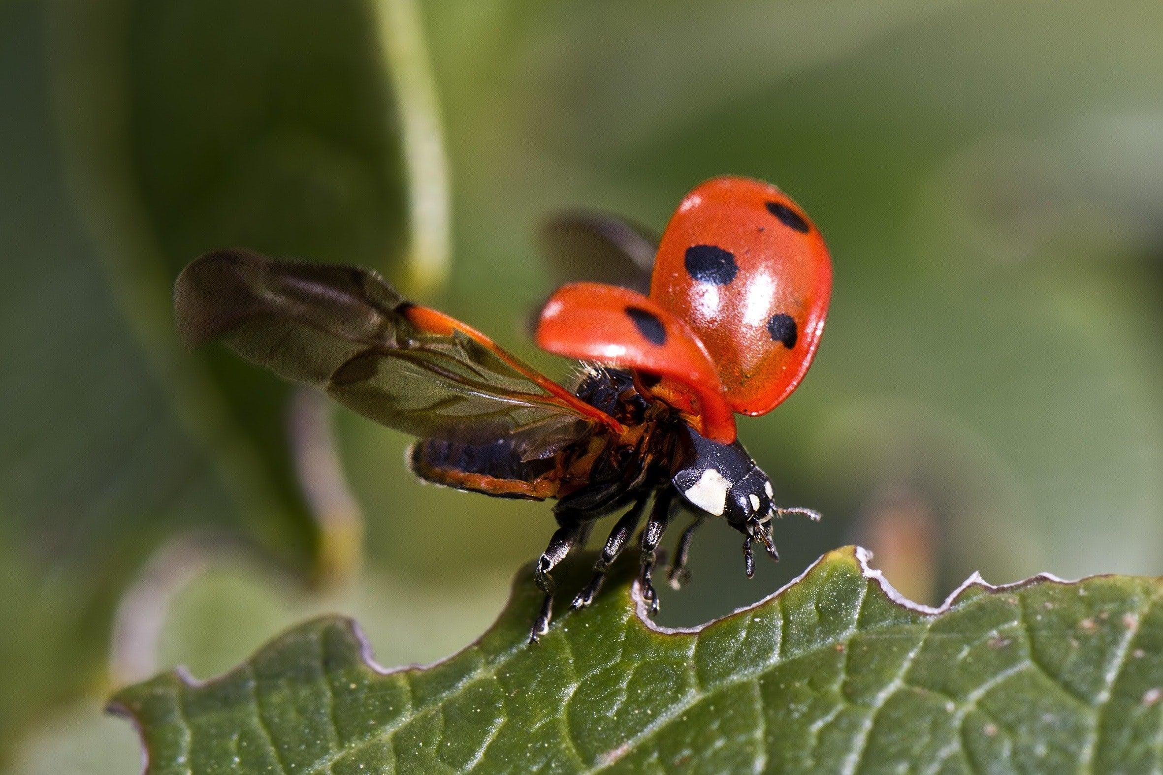 ladybug flying