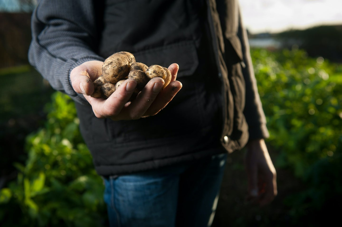 person holding potatoes in a field