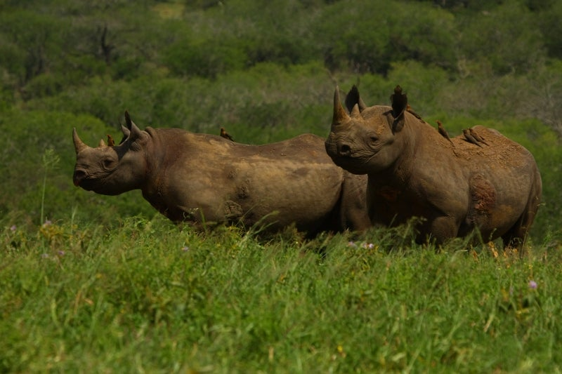 Rhinos with oxpeckers on their back.
