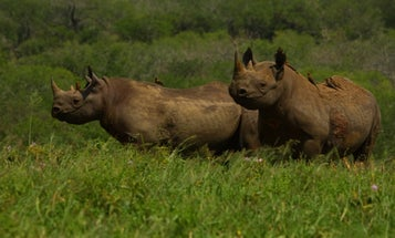 Rhinos pay a painful price for oxpecker protection