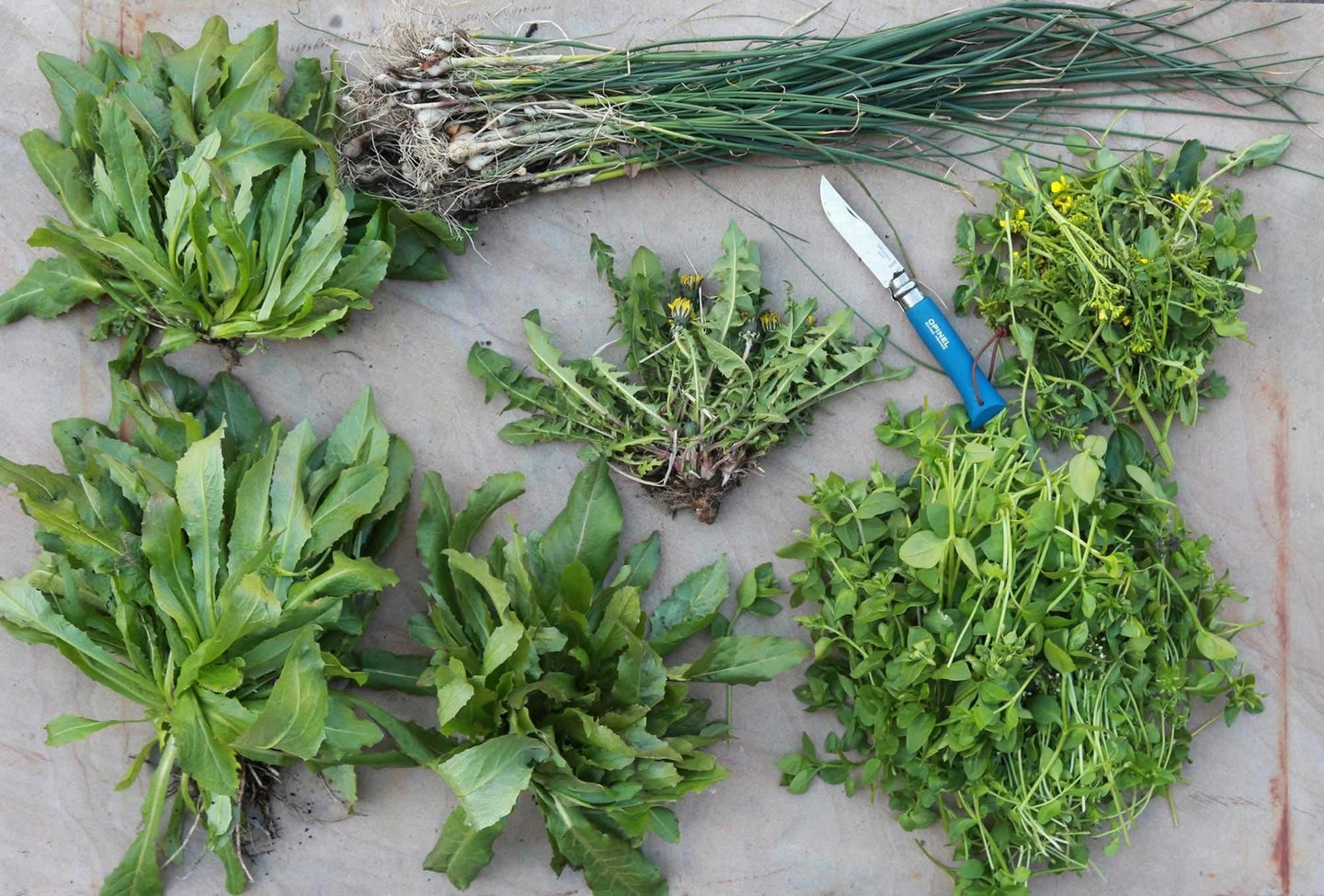 a selection of invasive, edible weeds on a gray surface, with a knife among them
