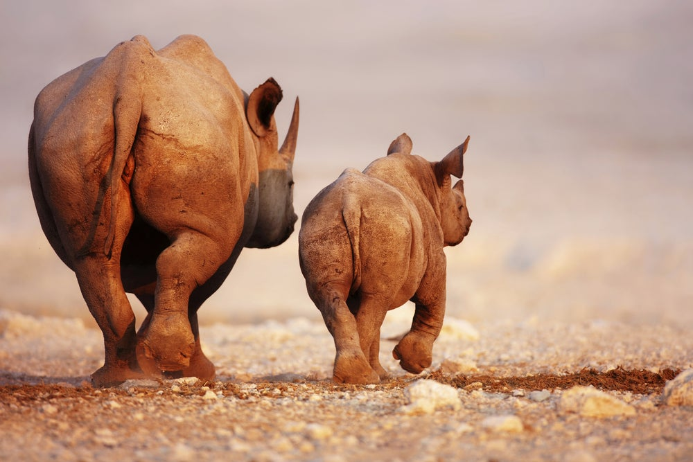 A black rhinoceros adult and calf in the desert