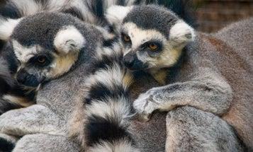 Horny lemurs use body odor as a pick-up line