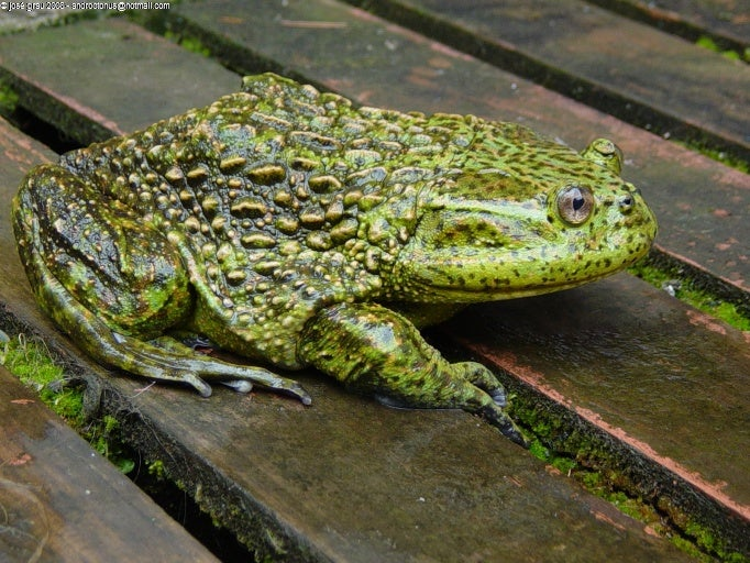Calyptocephalella gayi frog.