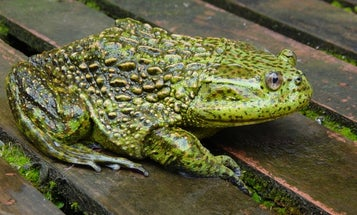 How did ancient frogs move between America and Australia? Easy: They hopped across Antarctica.