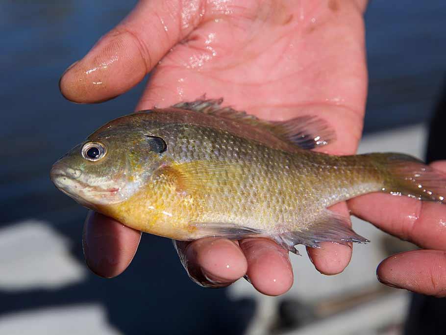Bluegill panfish.
